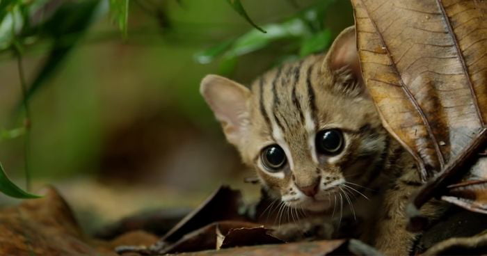 The Rusty-Spotted Cat, one of the smallest cat species in the world, found  in India and Sri Lanka - Titter Fun