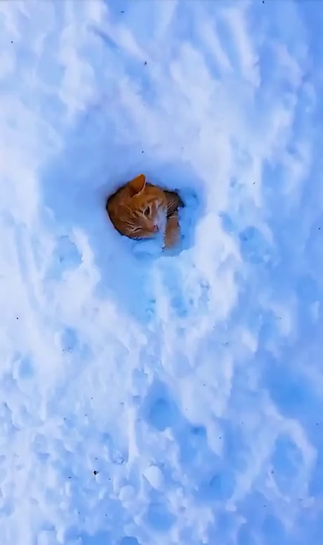 Nest of Snow cats